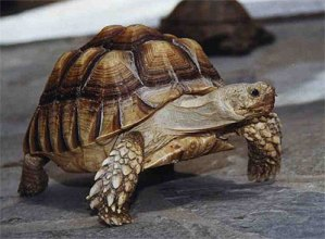 african-spurred-tortoise1