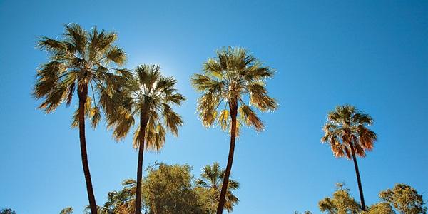 swayne-palm-trees