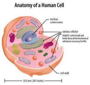 Anatomy_Human_Cell