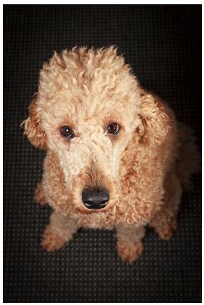 Dog_Talk_Listen_Intense_Puppy_Faithful_Ear_Sit_Patience