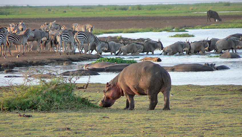 Hippo_Warthog_lake_manyara_park