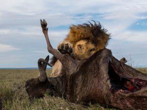 serengeti_lionwindebeest