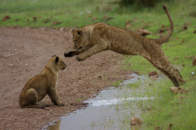 cubs-jumping-over-water
